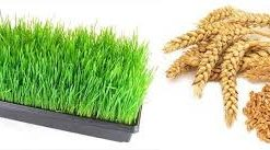 wheatgrass 2
